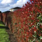 Which plants to choose for hedging?