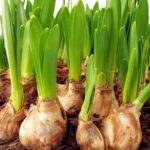 What are bulbs plants?